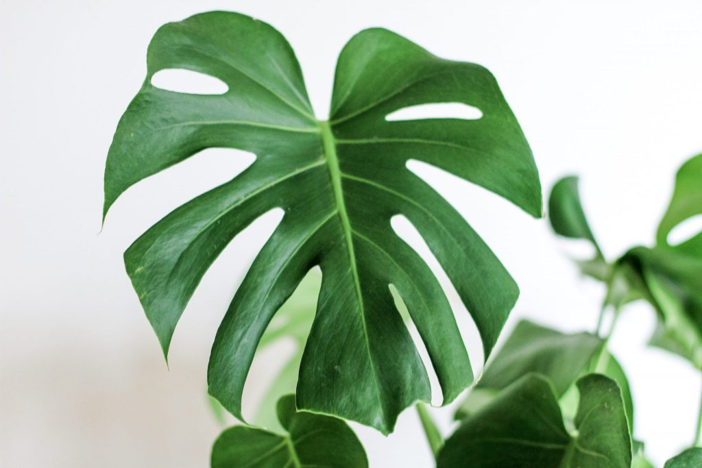 monstera interiorismo